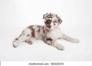 The studio portrait of the dog of Australian Shepherd lying on the white background, looking uncomprehendingly
