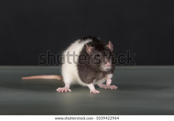 studio portrait of domestic rat on a glass table