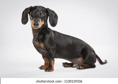 Studio portrait of an expressive Teckel dog against white background