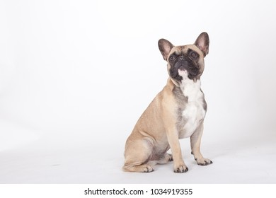studio portrait of a french bulldog