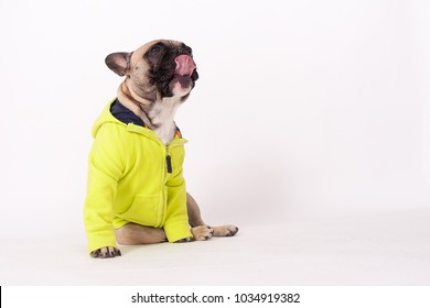 studio portrait of a french bulldog with animal clothes