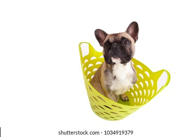 studio portrait of a french bulldog sitting in a basket
