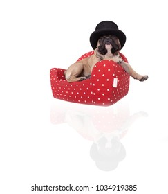 studio portrait of a french bulldog sitting on a red sofa and relaxing