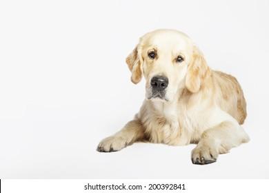 Studio portrait of the Golden retriever dog lying, isolated on white background