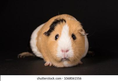 Studio portrait of Guinea Pig on black background