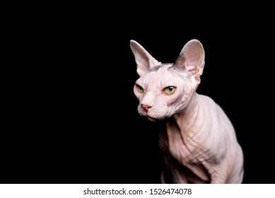 studio portrait of hairless sphynx cat in front of black background looking ahead