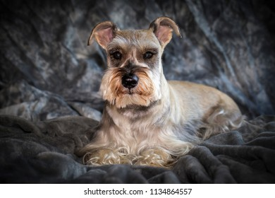 Studio portrait of a miniature schnauzer, also known as Zwergschnauzer.