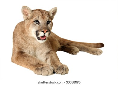 mountain lion isolated images stock photos vectors shutterstock rh shutterstock com mountain lion clipart black and white mountain lion clipart black and white
