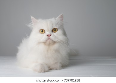 Studio portrait photo of white persian cat sitting on white table.