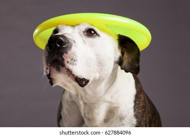 Studio portrait of a Pit Bull dog looking up with a yellow disc on its head.