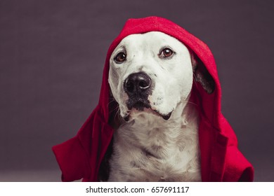 Studio portrait of a Pit Bull dog looking at camera with a compelling gaze, wearing a red coat. Red Riding Dog.