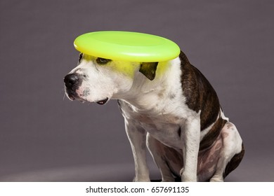 Studio portrait of a Pit Bull dog looking up with a yellow frisbee on its head.