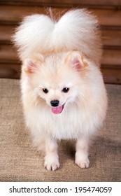 Studio portrait Pomeranian dog on a background wooden wall