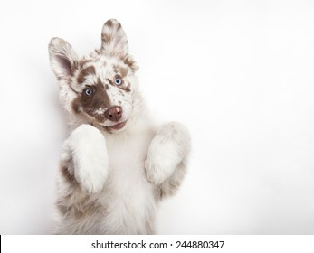 The studio portrait of the puppy of Australian Shepherd lying on the white background, giving a paw and begging