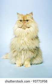 Studio portrait of red british long hair cat isolated on light blue background.