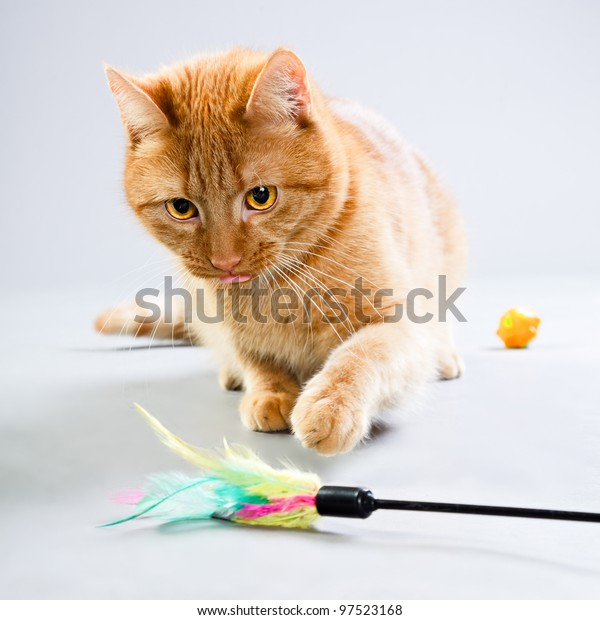 Studio portrait of red cat playing with toys isolated on grey background
