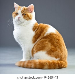 Studio portrait of red white british short hair kitten with orange eyes isolated on grey background