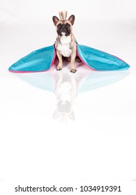 studio portrait with reflection of a young french bulldog disguised as a queen with a crown