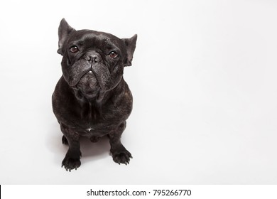 Studio portrait of the sad dog black french bulldog isolated on the white background