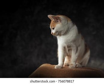 studio portrait of a sitting domestic cat