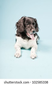 Studio portrait of Stabyhoun or Frisian Pointing Dog isolated on light blue background