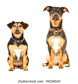 Studio portrait of two black jack russell dogs isolated on white background