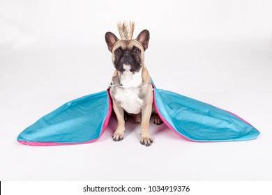 studio portrait  of a young french bulldog disguised as a queen with a crown