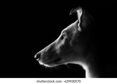 Studio portrait of a young smooth collie in black and white with black background