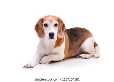 Studio shot of an adorable beagle lying on white background.