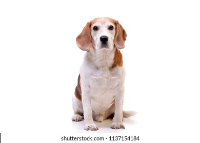 Studio shot of an adorable beagle sitting on white background.