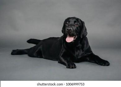 Studio shot of an adorable black Labrador retriever lying on grey background.