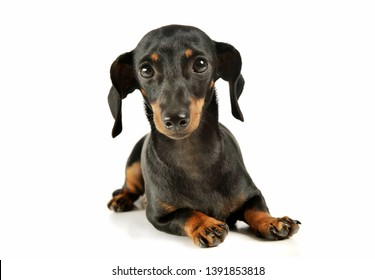Studio shot of an adorable black and tan short haired Dachshund looking curiously at the camera - isolated on white background.