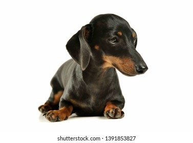 Studio shot of an adorable black and tan short haired Dachshund looking sad - isolated on white background.