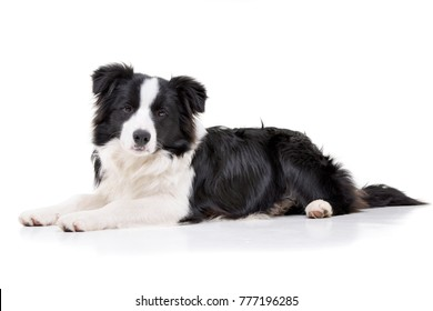 Studio shot of an adorable Border Collie lying on white background.