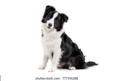 Studio shot of an adorable Border Collie sitting on white background.