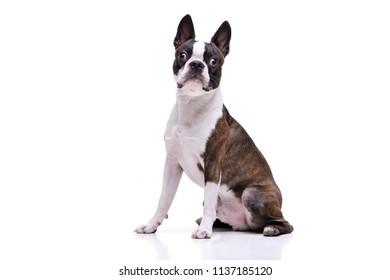 Studio shot of an adorable Boston Terrier sitting on white background.