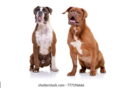 Studio shot of an adorable Boxer and a Dogue de Bordeaux sitting on white background.