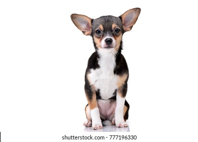 Studio shot of an adorable Chihuahua sitting on white background.