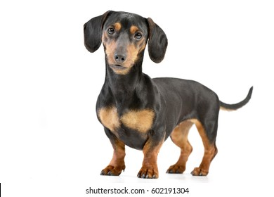 Studio shot of an adorable Dachshund standing on white background.