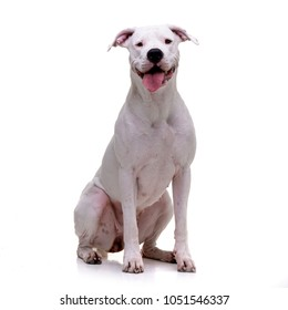 Studio shot of an adorable Dogo Argentino sitting on white background.