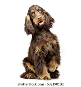 Studio shot of an adorable English Cocker Spaniel sitting on white background.