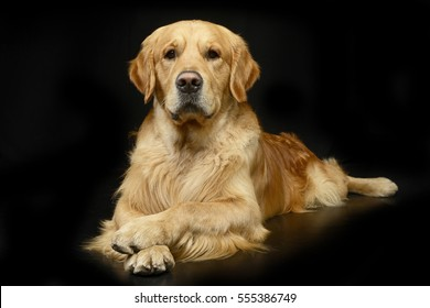 Studio shot of an adorable Golden retriever lying on black background.