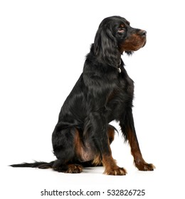 Studio shot of an adorable Gordon Setter sitting on white background.