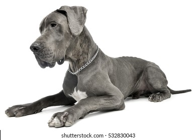 Studio shot of an adorable Great Dane dog lying on white background.