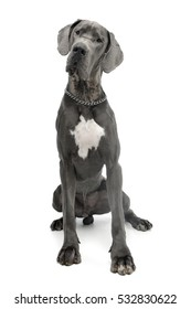 Studio shot of an adorable Great Dane dog sitting on white background.