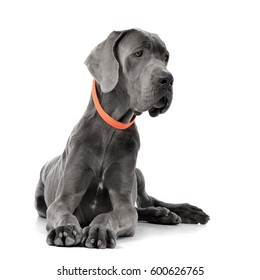 Studio shot of an adorable Great Dane lying on white background.