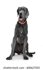 Studio shot of an adorable Great Dane sitting on white background.