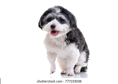Studio shot of an adorable Havanese dog sitting on white background.