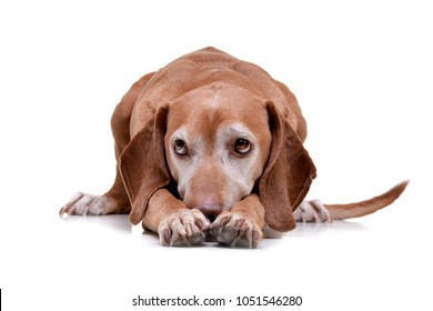 Studio shot of an adorable hungarian vizsla (magyar vizsla) lying on white background.