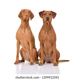Studio shot of an adorable hungarian vizsla (magyar vizsla) and a mixed breed dog sitting on white background.